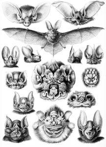 Desen realizat de Enrst Haeckel (1834–1919), prezentând o mică parte din diversitatea uriașă a liliecilor. - Ernst Haeckel rajza, mely a denevérek változatosságának egy apró részét szemlélteti. - Drawing made by Ernst Haeckel, presenting a small part of the bat diversity.
