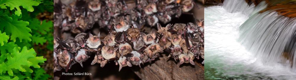 Aceasta boala este devastator Bat Coloniile în America de Nord