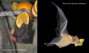 Liliecii care se hrănesc cu fructe (stânga) sau cu nectar (dreapta) se folosesc atât de ochii lor, cât și de simțul mirosului, pentru a ajunge la hrană. - A gyümölcs (bal) és nektárevő (jobb) denevérek a látásukat és szaglásukat is felhasználják a táplálék beazonosításában. - Bats that are eating fruits (left) or nectar) also use their vision or sense of smell to get to their food. (Photos: Wikipedia).